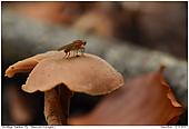 Hornfliege - Hornfliege auf Pilz