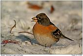 Bergfink - Winterfeeling - Bergfink