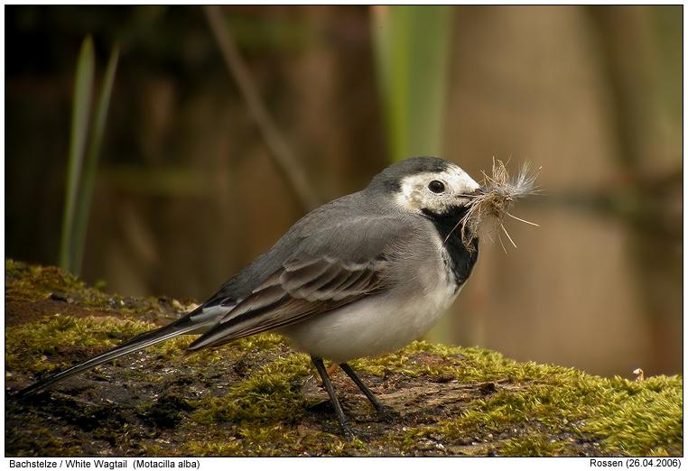 vogel dohle bilder