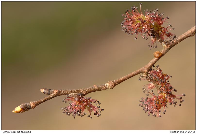Ulme - ulmenblüten &; :