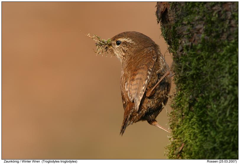 Zaunkonig Foto Naturfotografie Digital Bilder Mit Beschreibung