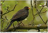 Amsel - Tr�bes Wetter