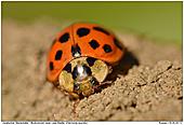 Asiatischer Marienkäfer - Asiatischer Marienkäfer