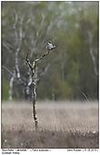 Baumfalke - Baumfalke im Wilden Moor