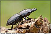 Balkenschröter - Balkenschröter Männchen auf Totholz