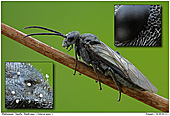 Blattwespe Dolerus spec  - Blattwespe (Dolerus spec )