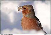 Buchfink - Buchfink im Schnee