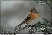 Bergfink - Im Winter