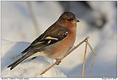 Buchfink - Buchfink - Männchen