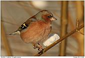 Buchfink - Buchfink im Winter