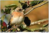 Bergfink - Bergfink im Apfelbaum