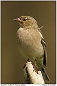 Buchfink - Buchfink-Weibchen