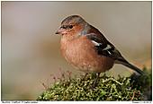 Buchfink - Buchfink Männchen im Moos