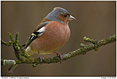 Buchfink - Buchfink im Apfelbaum