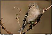 Buchfink - Buchfink - Weibchen
