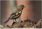 Buchfink - Buchfink auf Misthaufen