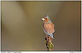 Buchfink - Buchfink Männchen