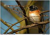 Bergfink - Bergfink - Männchen