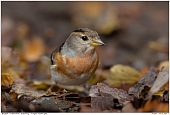 Bergfink - Bergfink -Weibchen im Wald