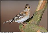 Bergfink - Bergfink - Weibchen