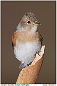 Bergfink - Bergfink