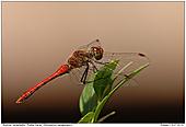 Blutrote Heidelibelle - Blutrote Heidelibelle