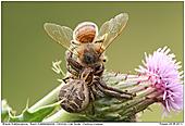 Braune Krabbenspinne - Braune Krabbenspinne erbeutet Biene