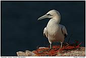 Basstölpel - Basstölpel auf seinem Nest