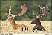 Damhirsch - Damhirsche im Weizenfeld