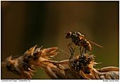 Unbestimmte Fliege - Fliege im Streiflicht