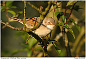 Dorngrasmücke - Dorngrasmücke