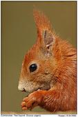 Eichhörnchen - Eichhörnchen