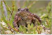 Erdkröte - Erdkröte im Moor