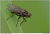 Fliege - noch unbestimmt - Fliege an Grashalm