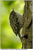 Gartenbaumläufer - Gartenbaumläufer Jungvogel