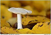 Gelber Knollenblätterpilz - Gelber Knollenblätterpilz im Herbstlaub