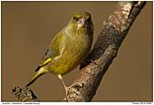 Grünfink - Grünfink - Männchen
