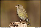 Grünfink - Grünfink - Weibchen