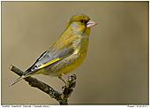 Grünfink - Grünfink