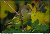 Grünfink - Grünfink im Herbstlaub