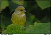 Grünfink - Grünfink im Laub
