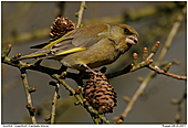 Gr�nfink - Gr�nfink an L�rchenzapfen