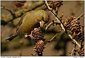 Grünfink - Grünfink an Lärche