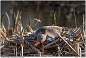 Graugans - Graugans auf dem Nest