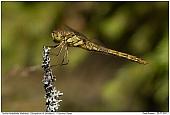 Große Heidelibelle - Weibchen der Großen Heidelibelle