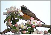 Gartenrotschwanz - Apfelblüte