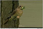Gartenrotschwanz - Gartenrotschwanz - Weibchen