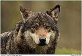Grauwolf - Grauwolf