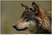 Grauwolf - Wolf