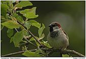 Haussperling - Prächtiger Sparrow